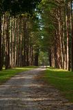 Way in forest. This is way in the pine forest royalty free stock image