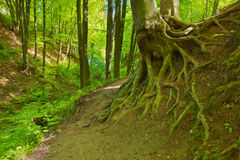 Way by green forest. Beech roots. Trees in nature  Stock Photo