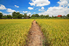 Way on green rice field against blue sky Stock Photos