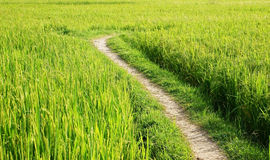 The way on green rice field Royalty Free Stock Photo