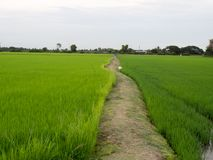 Way In Green Rice Field. Stock Photo