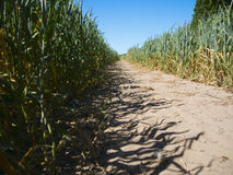 Way between maize Stock Photos