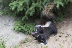 This way. A mother skunk protecting her baby by carrying the baby skunk to den Stock Image