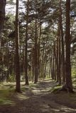 Way through the pine forest royalty free stock image