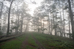 The way in pine forest, foggy Stock Images