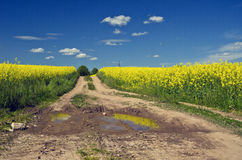 Way with puddles through flowering rapeseed field Stock Photos