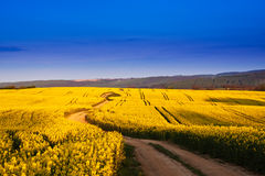 Way in rape field Royalty Free Stock Photos