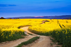 Way in rape field Royalty Free Stock Images