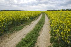 Way in rape field Stock Image