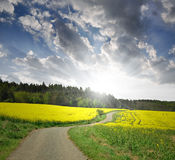 Way in rapeseed field Stock Image