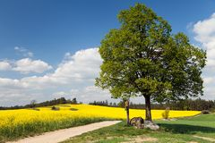 Way between rapeseed field and lime tree Stock Image