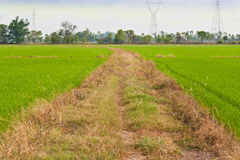 Way in rice field Stock Photography