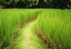 The way in rice paddy. Green field royalty free stock images