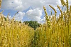 Way through ripening wheat field Stock Photo
