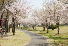 The way of Sakura Stock Photo