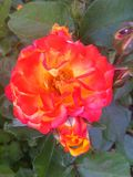 A beautiful rose, like lava from a volcano, morning, Odessa, 2017 Stock Images