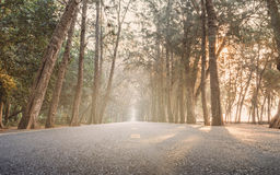 On the way with sunrise morning straight pine tree wood highway Stock Photo