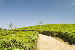 Way through a tea plantation Royalty Free Stock Photos