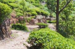 Way through a tea plantation Royalty Free Stock Image