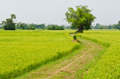 The way to big tree with green rice field Stock Photo