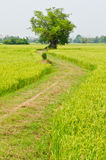 The way to big tree with green rice field Stock Image