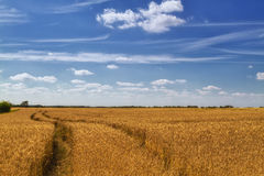 Way to harvest barley . Crop of barley field soon to be harvested in beautiful scenery Royalty Free Stock Photography
