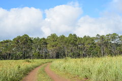 The way to pine forest in mountain Stock Image