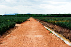 The way to the pineapple farm Royalty Free Stock Images