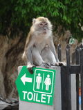 This way to the restrooms!. Macaque monkey sat on restroom sign at Batu Caves, Kuala Lumpur, Malaysia Royalty Free Stock Images