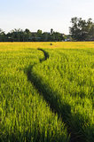 Way Walk in Rice Farm Stock Images