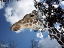 Way Way Up There. Giraffe from below Stock Photos