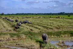The way they were on the rice field of buffaloes,. Thailand Royalty Free Stock Photography