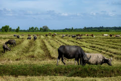 The way they were on the rice field of buffaloes. Thailand Royalty Free Stock Image