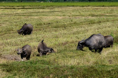 The way they were on the rice field of buffalos, Thailand. The way they were on the rice field of buffalos Royalty Free Stock Photos