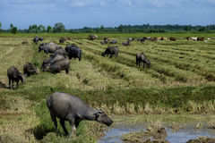 The way they were on the rice field of buffalos, Thailand. The way they were on the rice field of buffalos Royalty Free Stock Images