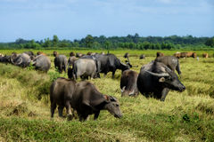The way they were on the rice field of buffalos, Thailand. The way they were on the rice field of buffalos Royalty Free Stock Photography