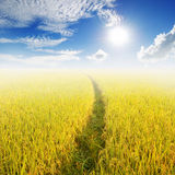 Way in Yellow rice field and blue sky for background Royalty Free Stock Photos