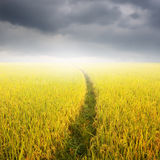 Way in Yellow rice field and rainclouds for background Stock Image