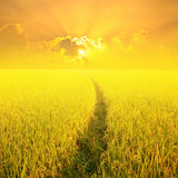 Way in Yellow rice field and sunset for background Royalty Free Stock Photography