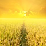 Way in yellow rice field and sunset for background Royalty Free Stock Image