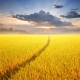 Way in Yellow rice field and sunset for background Royalty Free Stock Photo