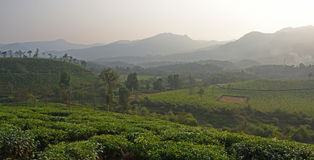 Wayanad-Teeplantage Stockfotografie
