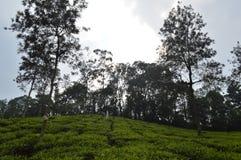 Wayanad-Teezustand, Kerala, Indien lizenzfreies stockbild