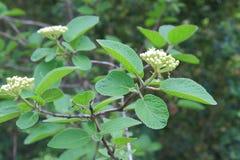 Wayfarer or wayfaring shrub. Wayfarer or wayfaring tree, foliage and fruit, Viburnum lantana royalty free stock photos
