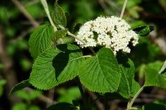 Wayfarer or Wayfaring Tree. (Viburnum lantana royalty free stock photography