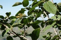Wayfarer or wayfaring tree. Viburnum lantana stock photo