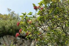 Wayfarer or wayfaring tree. Viburnum lantana royalty free stock images
