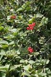 Wayfarer or wayfaring tree. Viburnum lantana royalty free stock photos