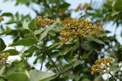 Wayfarer or wayfaring tree. Viburnum lantana royalty free stock image