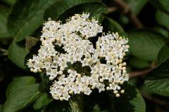 Wayfaring Baum u. x28; Viburnum Lantana u. x29; - Blüte stockbilder